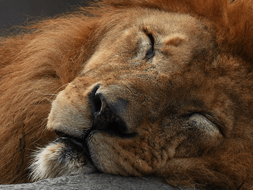 Close-up portrait of sleeping lion, photographed using the Nikon Coolpix P950
