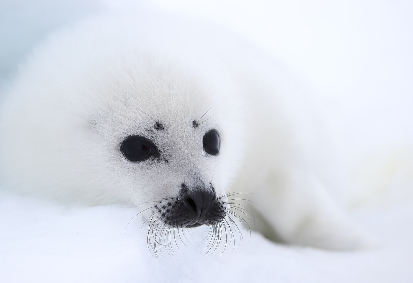 Close-up of white baby harp seal lying on snow, photographed with the Canon 70-200mm f4L IS II USM lens