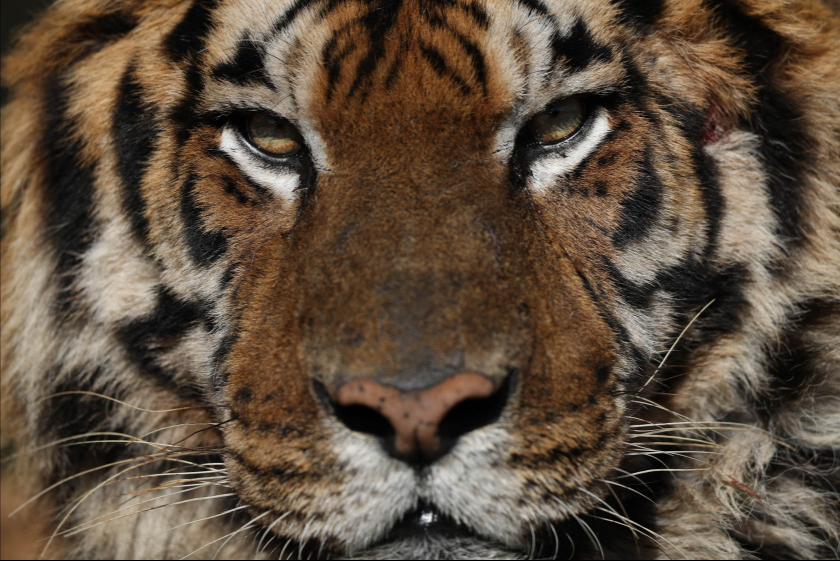 Close-up of tiger's face, photographed with the Canon 1DX Mark II
