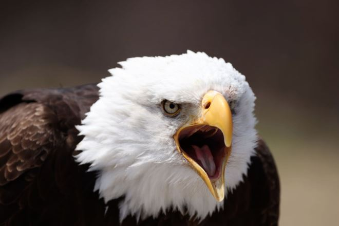 Close-up of bald eagle with its beak open, photographed with the Canon EOS R5