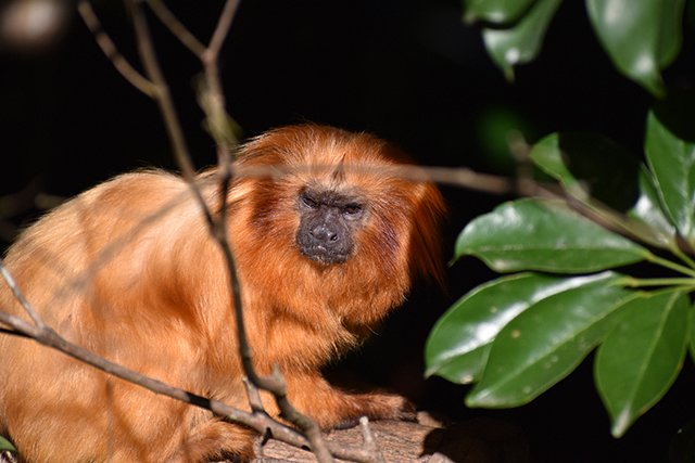Golden lion tamarin crouching behind a tree branch, photographed with the NIKKOR 70-300mm f/4.5-6.3 G ED VR lens