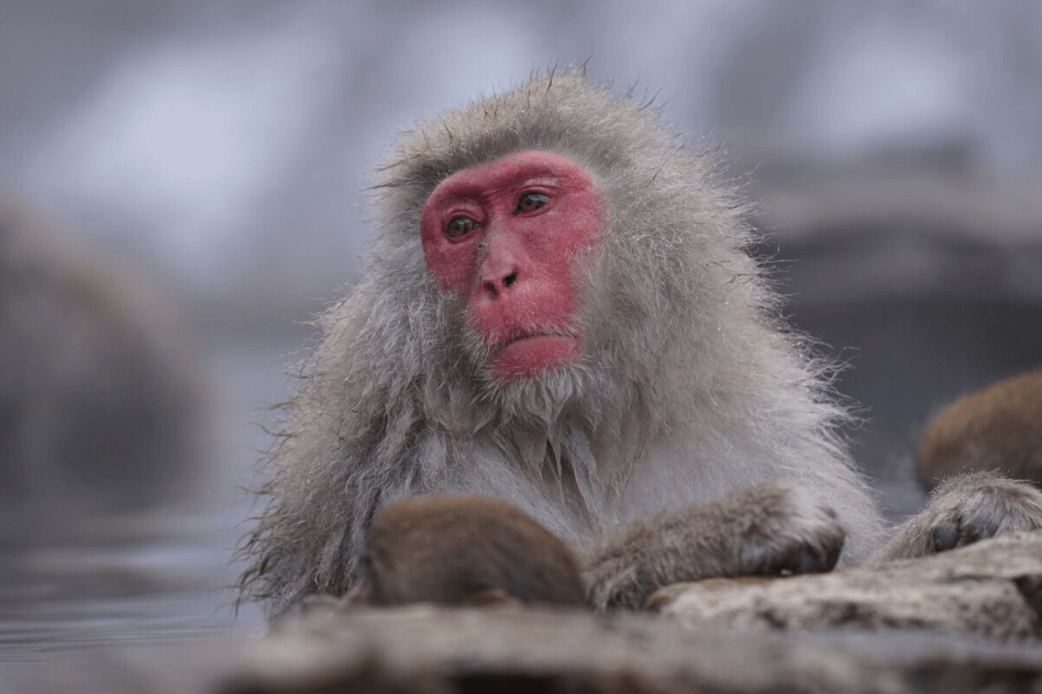 Close-up of snow monkey bathing in a hot spring, photographed with the Sony 70-200mm f4 G OSS Lens