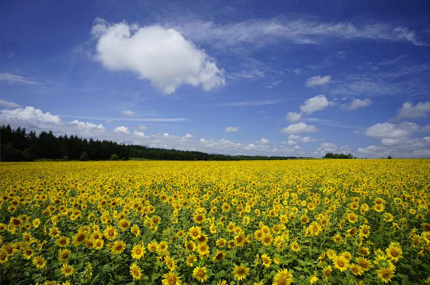 Field full of sunflowers beneath a cloudy blue sky, photographed with the Sony 16-35mm f4 lens