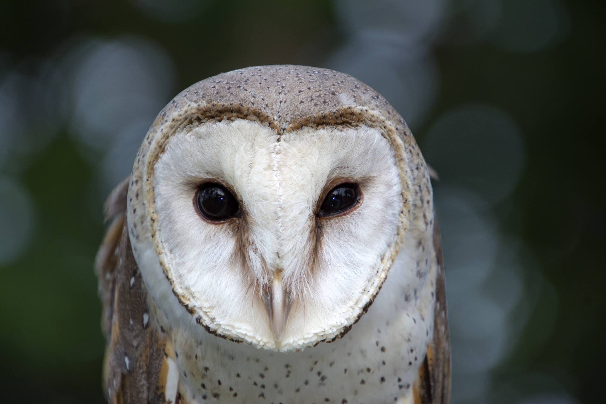 Close-up of barn owl's face, photographed with the Tamron 18-400mm f/3.5-6.3 Di II VC HLD lens for Canon