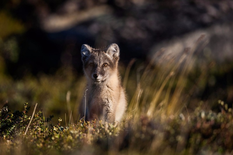 Small aperture example- Arctic Fox in Iceland Greenland