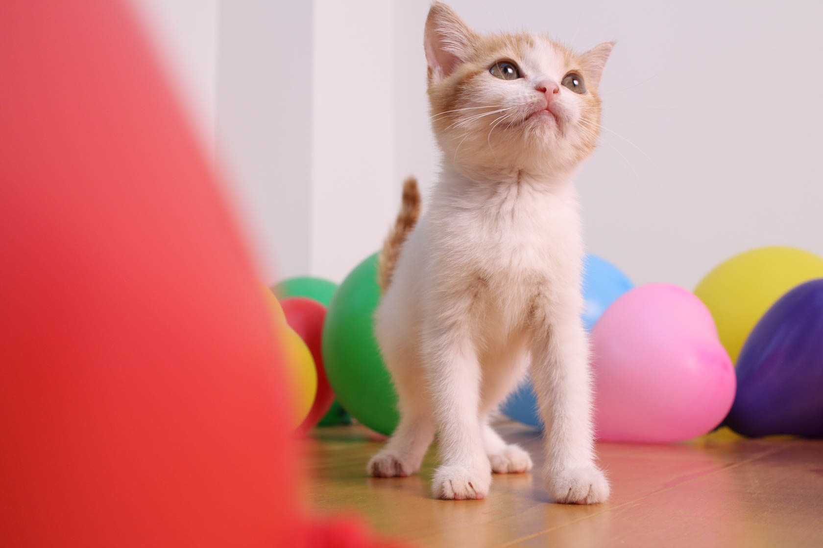 Ginger and white kitten surrounded by colourful balloons, photographed with the Canon EF-M 22mm f/2 STM Lens