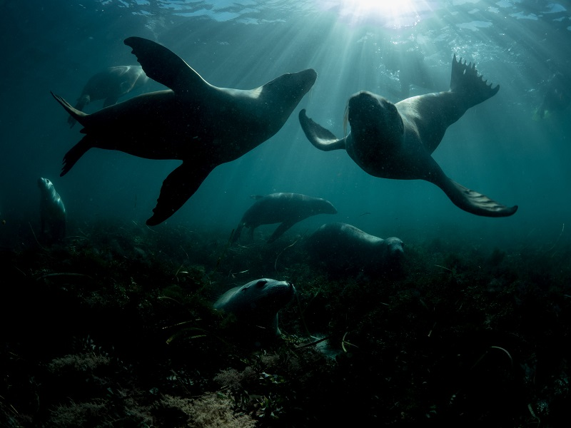 underwater photo of sea lions eating grass