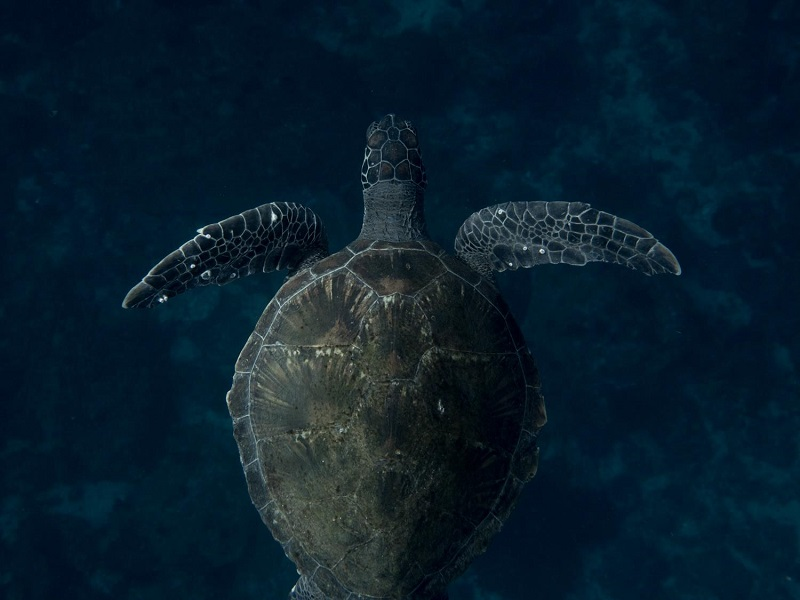 underwater photo of a green sea turtle