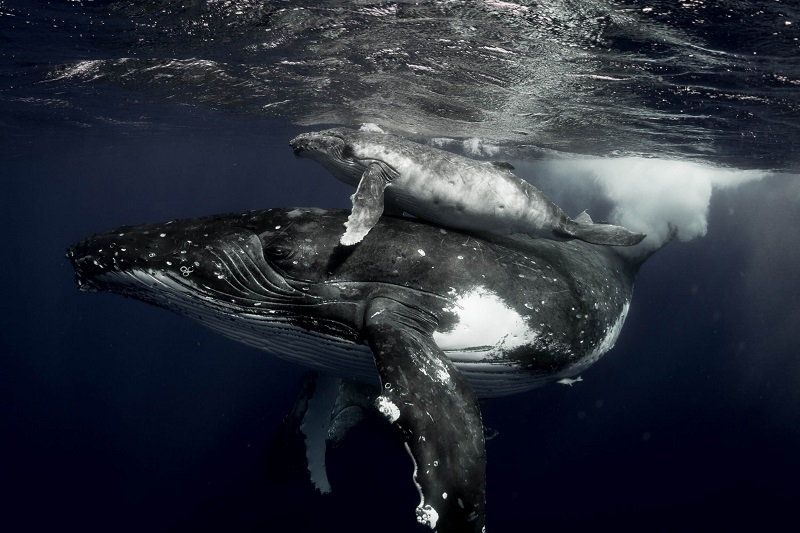 underwater photo of a whale and its calf